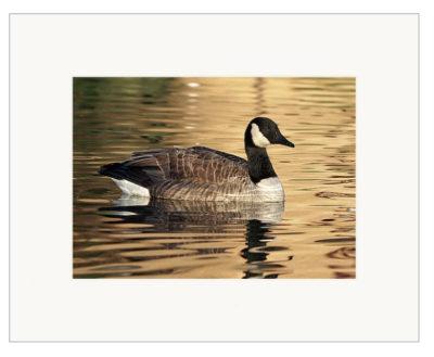 "On Golden Pond - 5"" x 7"""