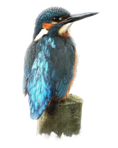 Kingfisher Illustration by Gerald Bright