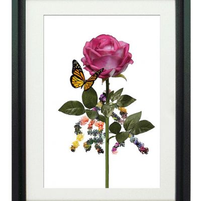 Rubefacio-Rose